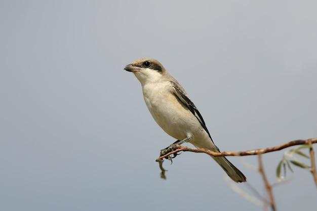 Mniejszy szary dzierzba (lanius minor) siedzi na gałęzi na błękitnym niebie