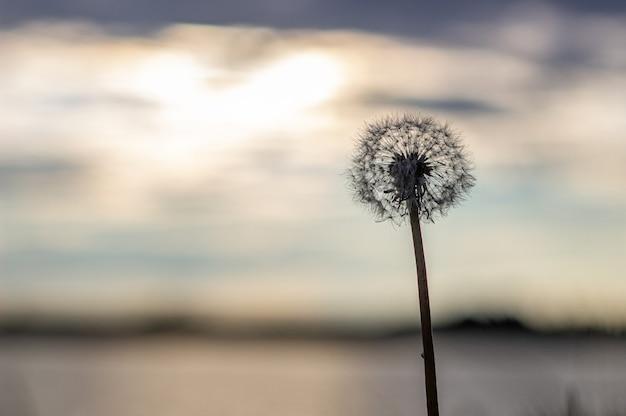 Mniszek lekarski o pomarańczowym zachodzie słońca puszysty mniszek lekarski przed zachodem słońca przed słońcem zbliżenie niewyraźne tło ikebana suszonych kwiatów mniszka lekarskiego