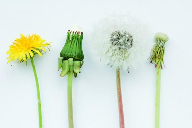 Mniszek lekarski w różnym stopniu dojrzałości od pąka do kwiatostanu z nasionami.
