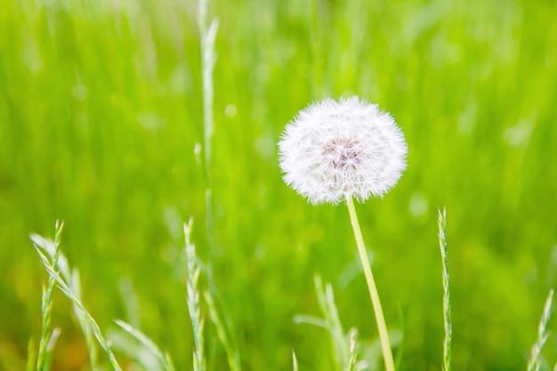 Mniszek lekarski w tle przyrody. puszysty kwiat mniszka lekarskiego ze światłem słonecznym w lecie.