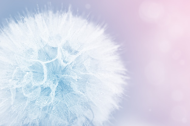 Mniszek lekarski z kroplami wody w kolorze niebieskim i różowym