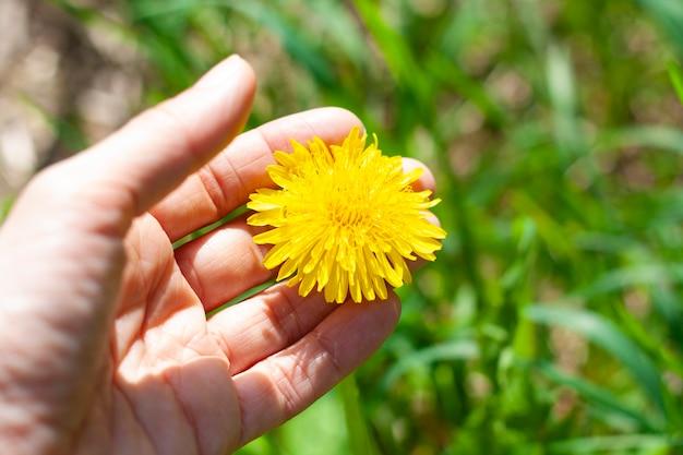 Mniszek w ręku na trawie