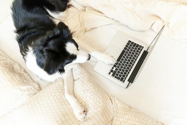 Mobilne biuro w domu. śmiesznego portreta szczeniaka psa śliczny border collie na łóżkowym pracującym surfingu wyszukuje internet używać laptopu komputeru osobistego salowego w domu. koncepcja kwarantanny działalności gospodarczej freelance dla zwierząt domowych.