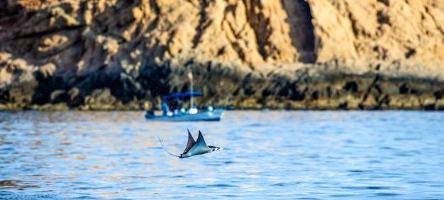 Mobula ray skacze w tle łodzi rybackiej. cabo san lucas