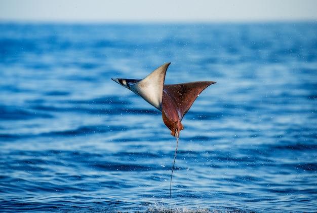 Mobula ray wyskakuje z wody. meksyk