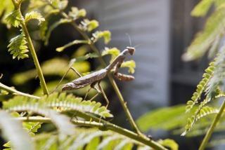 Modląc drzewo mantis