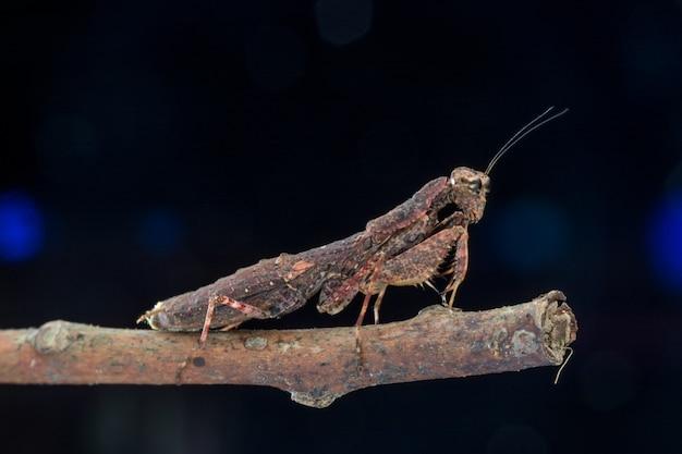 Modlenie modliszki brown gatunków louva-a-deus natura makro- (mantodea)