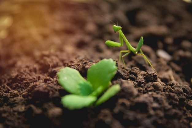 Modliszka lub modlenie modliszka z zieloną młodą rośliną na ziemi.