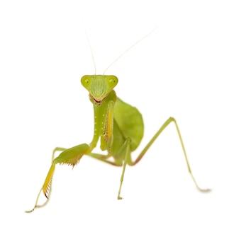 Modliszka - mantis religiosa izolowane