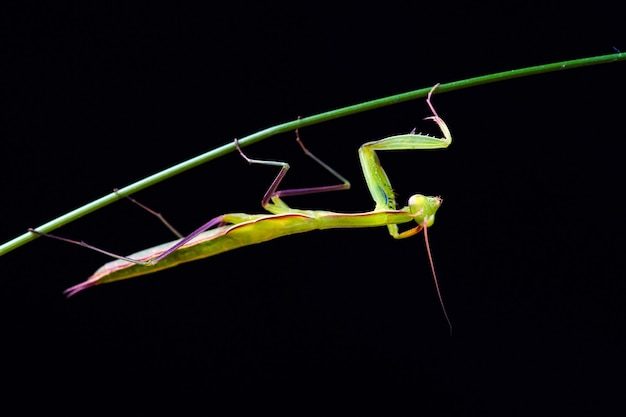 Modliszka (mantis religiosa) na czarnym tle