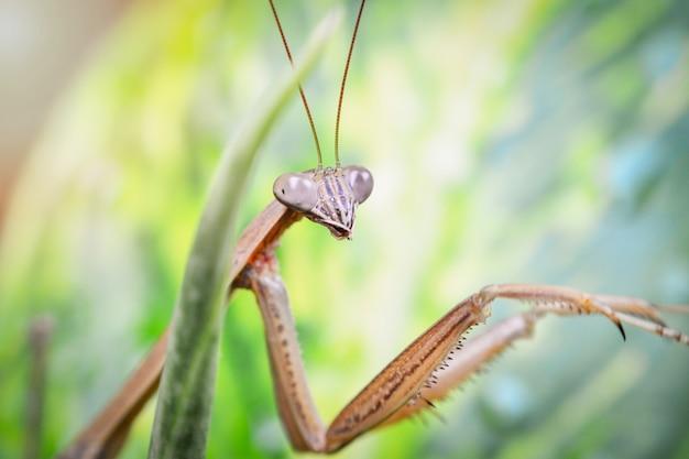 Modliszka na liściach - mantis religiosa w rodzinie prawdopodobnie spondromantis viridis / uroczy owad