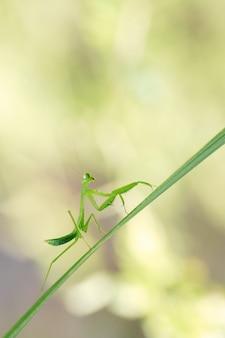 Modliszka nad liściem