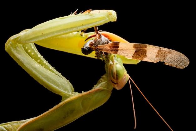 Modliszka zielona jedzenia grasshoper