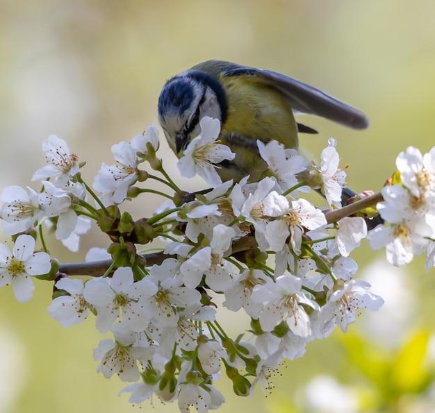 Modraszka siedząca na kwitnącej gałęzi drzewa