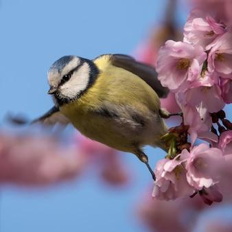 Modraszka siedzi na pięknej gałęzi z kwiatami wiśni. cudowne uczucie wiosny.