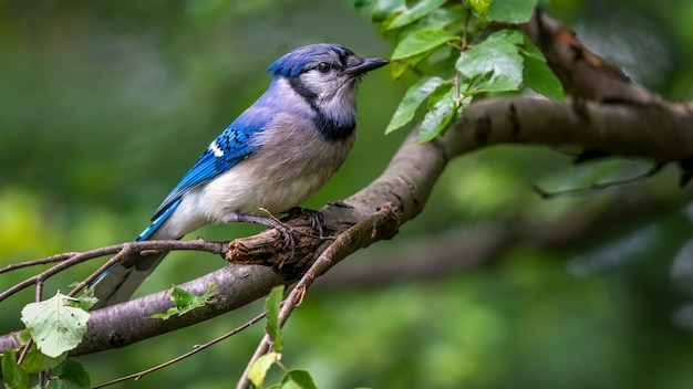 Modrosójka błękitna