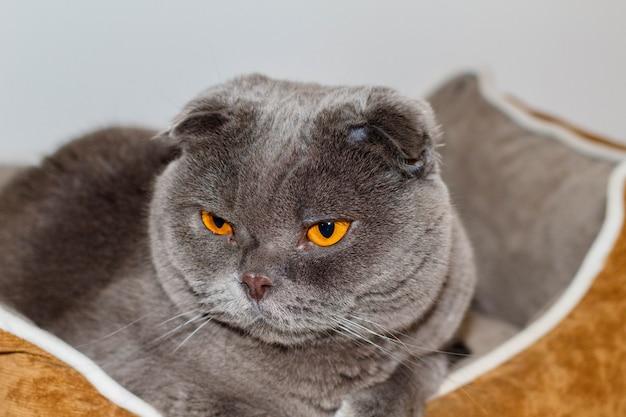 Moje kochające i urocze zwierzątko. kot scottish fold zwany pelusi szarymi i pomarańczowymi oczami.