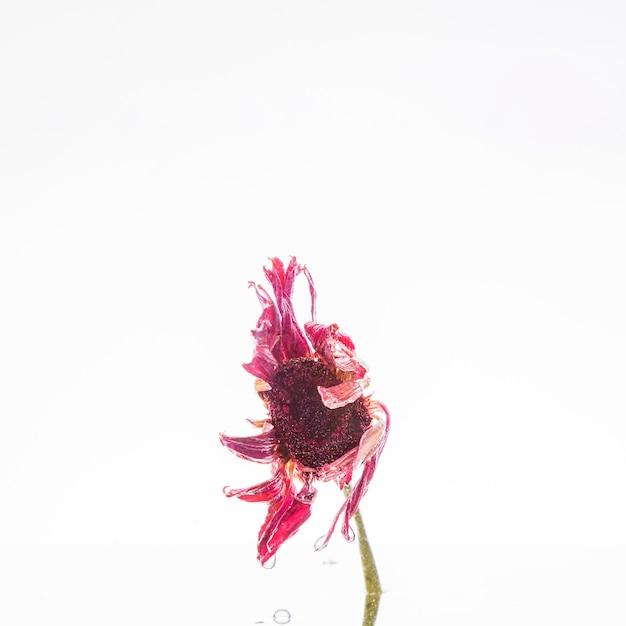 Mokra różowa stokrotka
