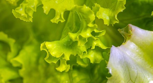 Mokra sałata liściasta w makrofotografii