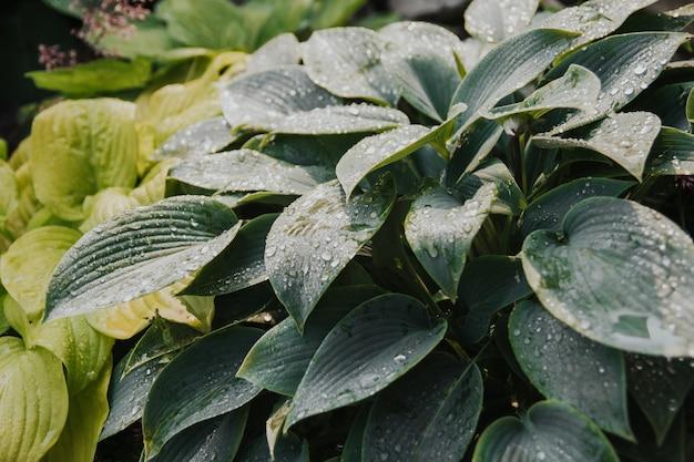 Mokre liście gospodarza po deszczu.