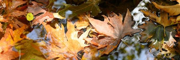 Mokre opadłe jesienne liście klonu w wodzie. transparent