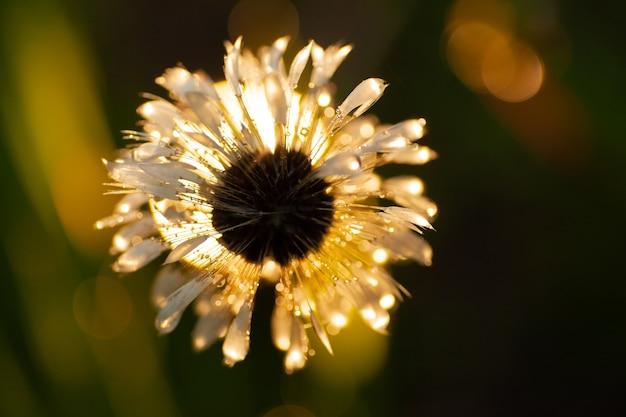 Mokry kwiat mniszka lekarskiego wieczorem podczas deszczu