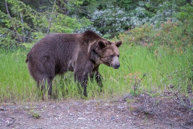 Mokry niedźwiedź grizzly spacerujący wzdłuż krawędzi lasu