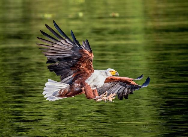 Moment ataku orła afrykańskiego na rybę w wodzie. wschodnia afryka. uganda.