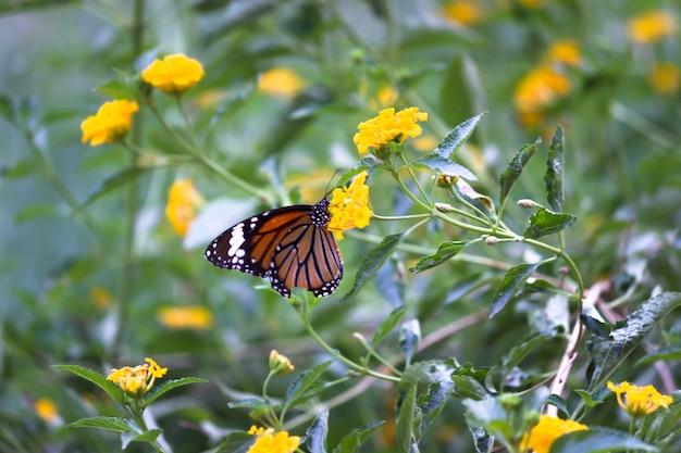 Monarch butterfly danaus plexippus na jasnożółtych słonecznikach w słoneczny letni poranek