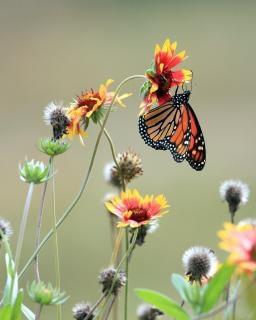 Monarchę na wildflower