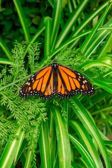 Monarchiczny motyl (danaus plexippus), z otwartymi skrzydłami, na zielonym liściu