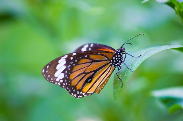Monarchiczny motyl na kwiat roślinie
