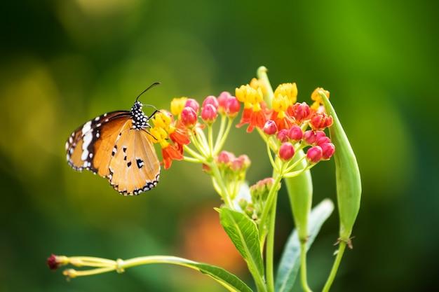 Monarchiczny motyl przy kolorowym kwiatem