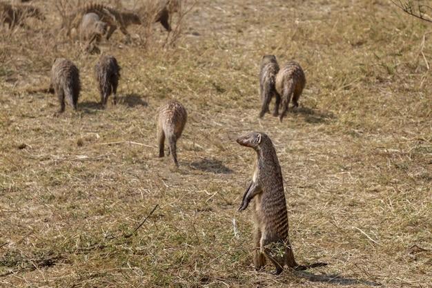 Mongoose w parku narodowym serengeti tanzania wildlife photo