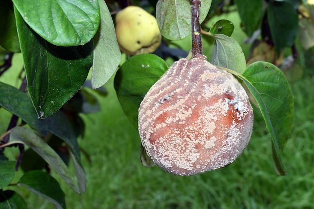 Monilioza lub zgnilizna pigwy wywołana przez grzyb monilia spp.