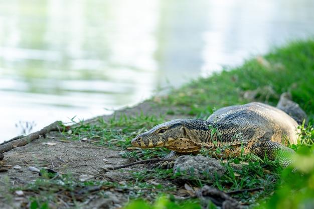 Monitor jaszczurka odpoczywa na trawie, zamyka w górę obrazka