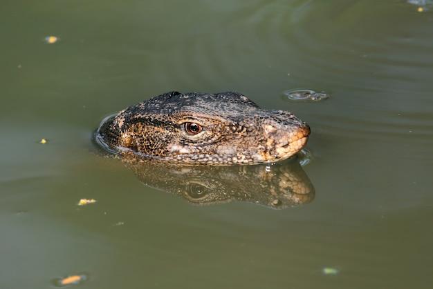 Monitor wody jaszczurka varanus salvator relaks w wodzie