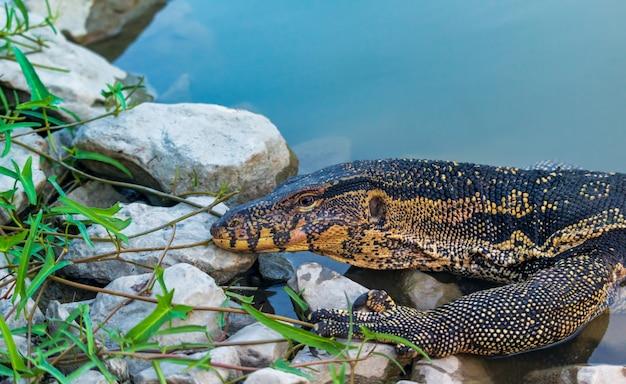 Monitor wody (varanus salvator) wychodząc z wody w parku tajlandii