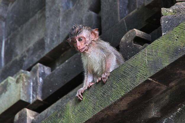 Monkey forest, bali zoo, indonezja