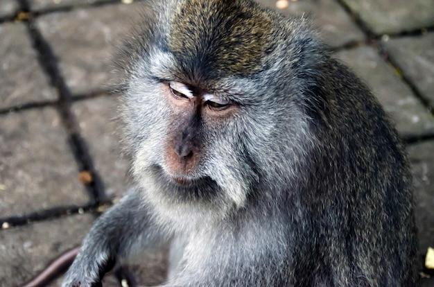 Monkey on bali, ubud