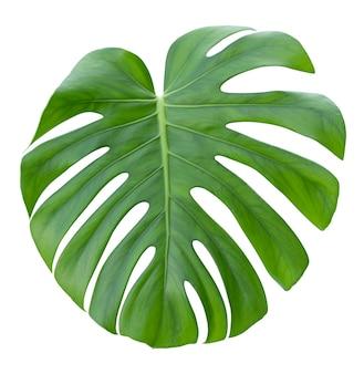 Monstera, duży zielony, soczysty, jasny liść na białym tle.