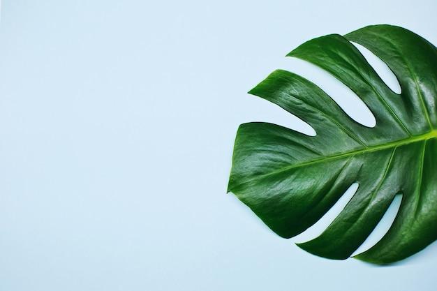 Monstera liście roślin na białym tle na niebieskim tle. lato tropikalny tło z miejsca na kopię.