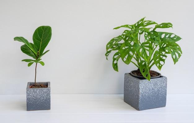 Monstera obliqua i fiddle leaf figa lub ficus lyratain w betonowej doniczce na białej drewnianej powierzchni ściany stołu z miejscem na kopię, araceae lub roślina liściasta