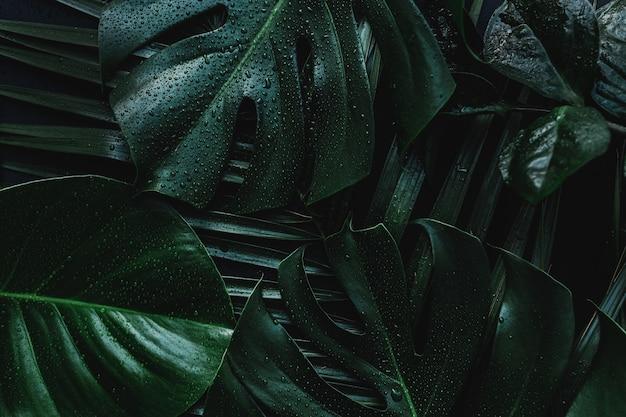 Monstera palm zielonych liści na czarnym tle