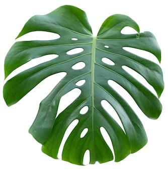 Monstera, roślina doniczkowa liście na białym tle na białym tle.