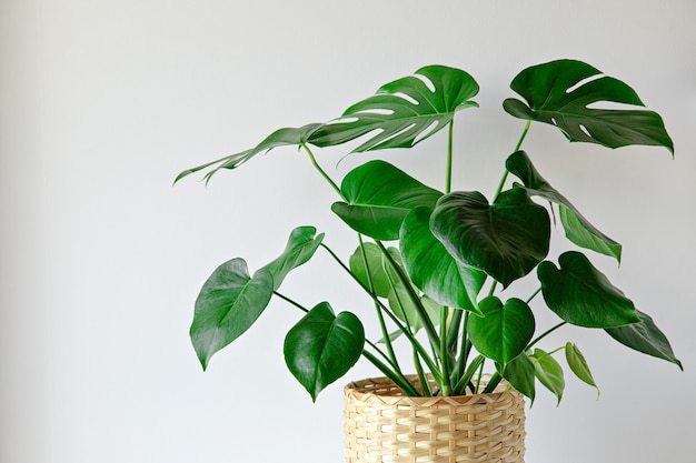 Monstera roślina wewnątrz na tle białej ściany