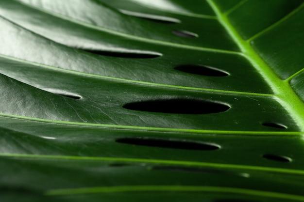 Monstera tropikalnej rośliny liść na czarnym tle