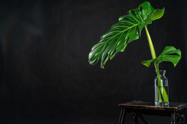 Monstera tropikalnej rośliny liść na czerni