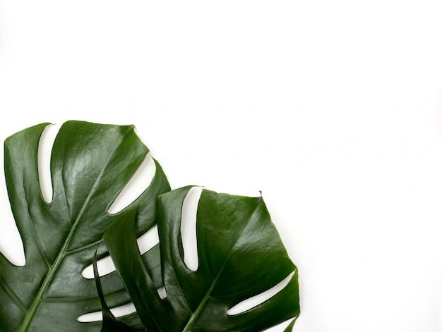 Monstera tropikalny palmowy liść na białym tle z zieloną orchideą