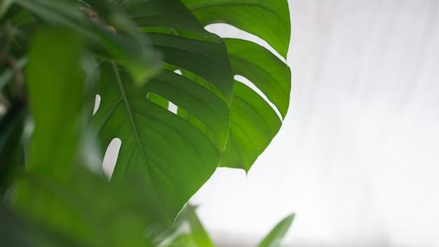Monstera zielona roślina na białym tle.